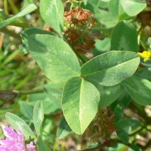 Photographie n°28991 du taxon Trifolium pratense L. [1753]