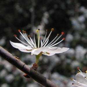 Photographie n°29049 du taxon Prunus cerasifera Ehrh.
