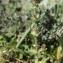 John De Vos - Parentucellia latifolia (L.) Caruel