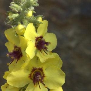 Photographie n°29170 du taxon Verbascum boerhavii L. [1767]