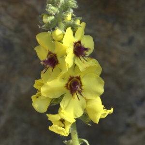 Photographie n°29171 du taxon Verbascum boerhavii L. [1767]