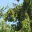 David Delon - Juniperus oxycedrus subsp. macrocarpa (Sm.) Ball