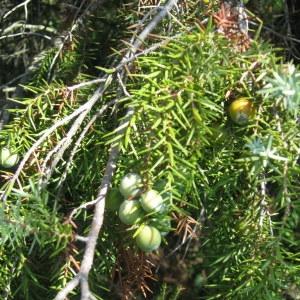 Photographie n°29201 du taxon Juniperus oxycedrus subsp. macrocarpa (Sm.) Ball