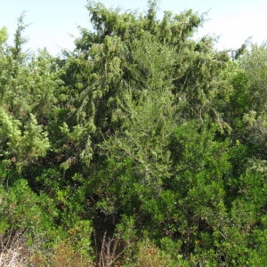 Photographie n°29202 du taxon Juniperus oxycedrus subsp. macrocarpa (Sm.) Ball