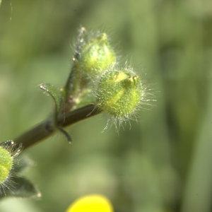 Photographie n°29212 du taxon Ranunculus bulbosus L. [1753]