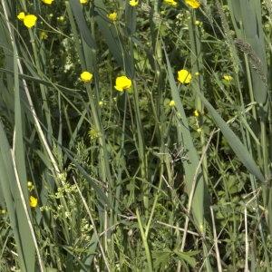 Photographie n°29220 du taxon Ranunculus acris L. [1753]