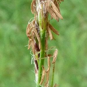 Photographie n°29229 du taxon Carex hirta L.