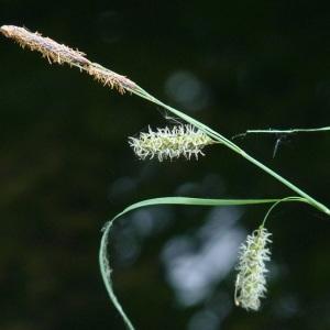 Photographie n°29232 du taxon Carex pseudocyperus L.
