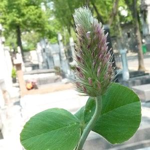 Photographie n°29263 du taxon Trifolium incarnatum subsp. molinerii (Balb. ex Hornem.) Ces. [1844]