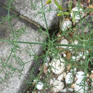 Photographie n°29418 du taxon Foeniculum vulgare subsp. piperitum (Ucria) Bég. [1907]