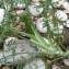 Bertrand BUI - Foeniculum vulgare subsp. piperitum (Ucria) Bég. [1907]