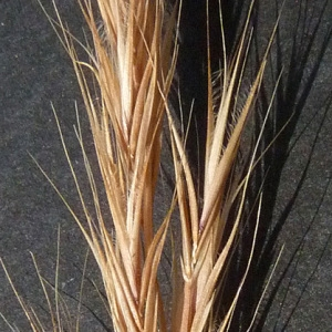 Photographie n°29430 du taxon Vulpia ciliata Dumort.
