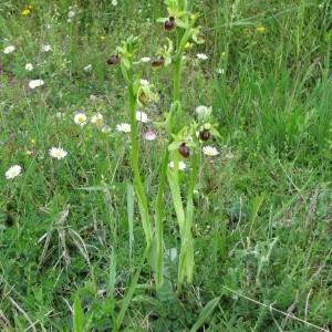 Photographie n°29485 du taxon Ophrys aranifera Huds.