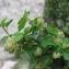 Marie  Portas - Ribes alpinum L.