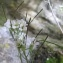 Marie  Portas - Arabis alpina L.