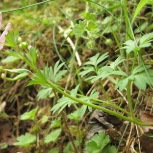 Photographie n°29542 du taxon Corydalis solida (L.) Clairv.