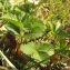 Marie  Portas - Fragaria viridis Weston [1771]