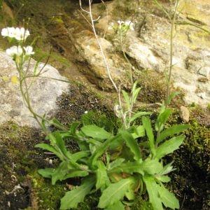 Photographie n°29561 du taxon Arabis alpina L.