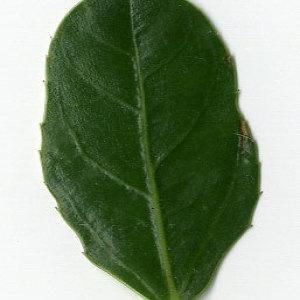 Photographie n°29618 du taxon Rhamnus alaternus L. [1753]