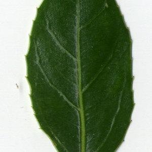 Photographie n°29619 du taxon Rhamnus alaternus L. [1753]