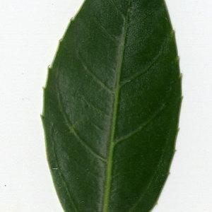 Photographie n°29620 du taxon Rhamnus alaternus L. [1753]