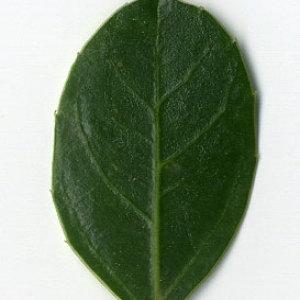 Photographie n°29621 du taxon Rhamnus alaternus L. [1753]