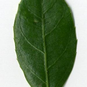 Photographie n°29622 du taxon Rhamnus alaternus L. [1753]