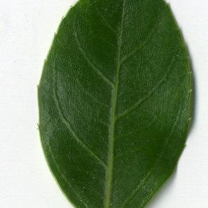 Photographie n°29623 du taxon Rhamnus alaternus L. [1753]