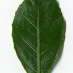 Photographie n°29624 du taxon Rhamnus alaternus L. [1753]