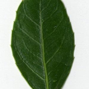 Photographie n°29625 du taxon Rhamnus alaternus L. [1753]