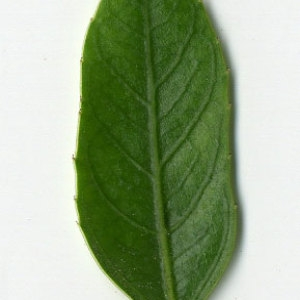 Photographie n°29626 du taxon Rhamnus alaternus L. [1753]