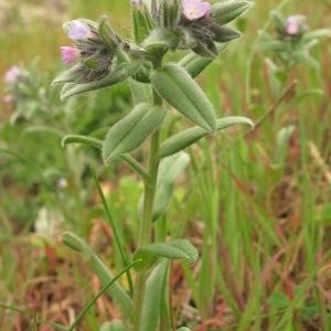 Photographie n°29769 du taxon Lithospermum arvense L.