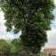 Annick Larbouillat - Aesculus hippocastanum L.