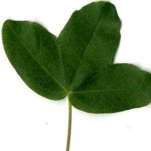 Photographie n°29948 du taxon Acer monspessulanum L. [1753]