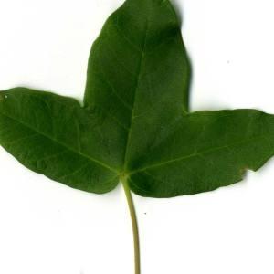 Photographie n°29949 du taxon Acer monspessulanum L. [1753]