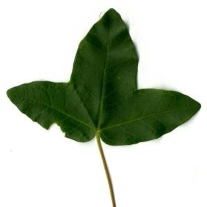Photographie n°29951 du taxon Acer monspessulanum L. [1753]