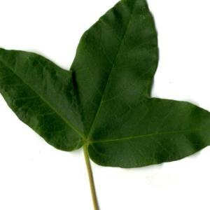 Photographie n°29952 du taxon Acer monspessulanum L. [1753]