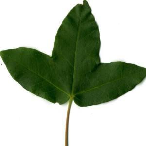 Photographie n°29953 du taxon Acer monspessulanum L. [1753]