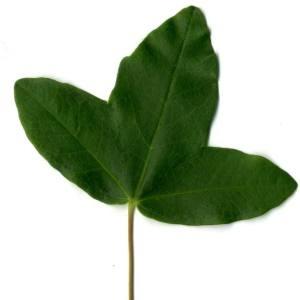 Photographie n°29954 du taxon Acer monspessulanum L. [1753]