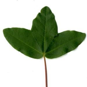 Photographie n°29955 du taxon Acer monspessulanum L. [1753]