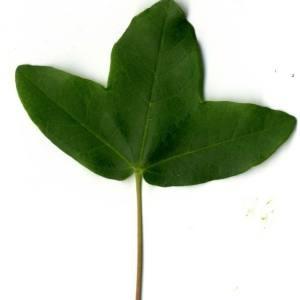 Photographie n°29958 du taxon Acer monspessulanum L. [1753]