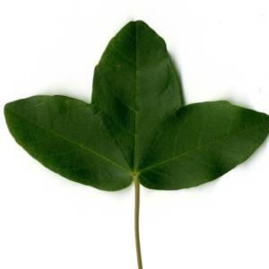 Photographie n°29959 du taxon Acer monspessulanum L. [1753]