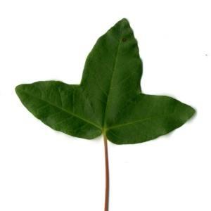 Photographie n°29962 du taxon Acer monspessulanum L. [1753]