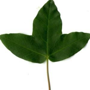 Photographie n°29963 du taxon Acer monspessulanum L. [1753]
