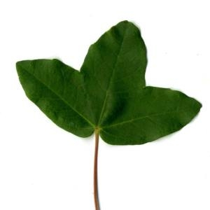 Photographie n°29965 du taxon Acer monspessulanum L. [1753]