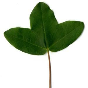 Photographie n°29966 du taxon Acer monspessulanum L. [1753]