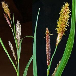 Photographie n°30027 du taxon Carex flacca Schreb. [1771]
