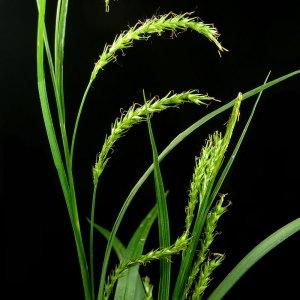 Photographie n°30028 du taxon Carex sylvatica Huds.