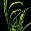 Jean-Louis CHEYPE - Carex sylvatica Huds.