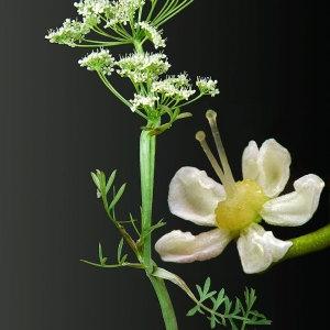 Pimpinella saxifraga L. (Boucage saxifrage)
